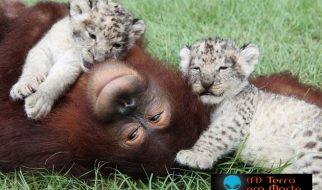 Orangotango adopta dois leões 17