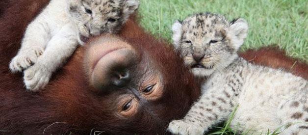 Orangotango adopta dois leões 6