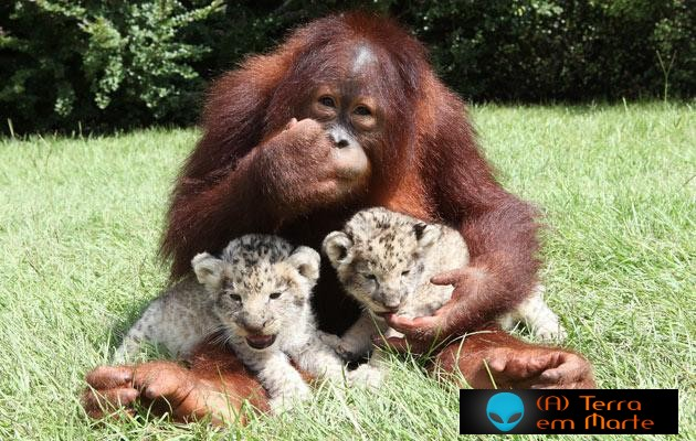Orangotango adopta dois leões 5