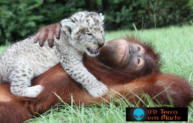 Orangotango adopta dois leões 4