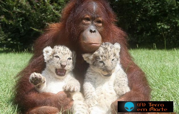 Orangotango adopta dois leões 2