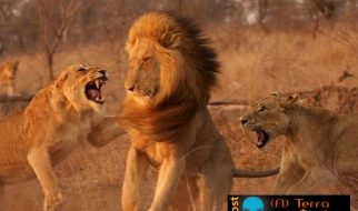 Leoas enfurecidas atacam leão 3