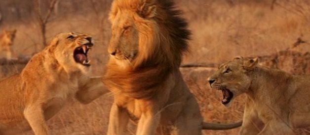 Leoas enfurecidas atacam leão