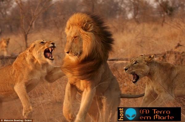 Leoas enfurecidas atacam leão 1