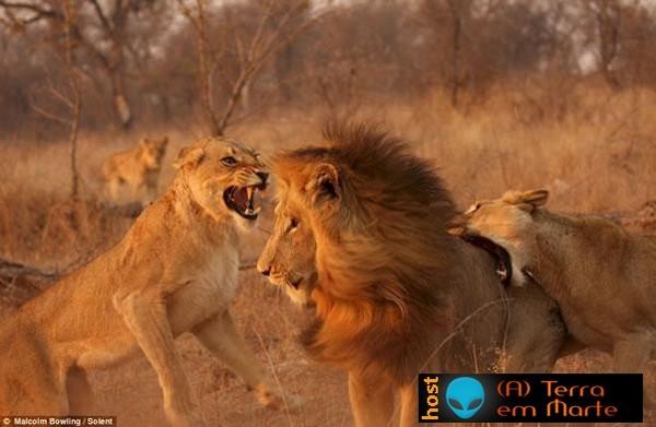 Leoas enfurecidas atacam leão 4