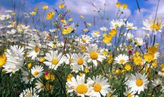 Sabia que as flores cada vez cheiram menos? 4