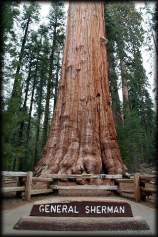 As lendárias árvores gigantes do nosso planeta 4