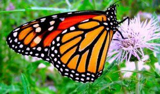 Sabia que as borboletas monarcas se medicam com plantas? 11