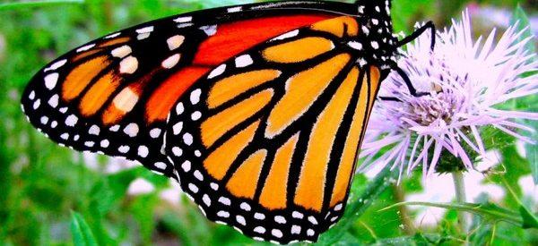 Sabia que as borboletas monarcas se medicam com plantas?