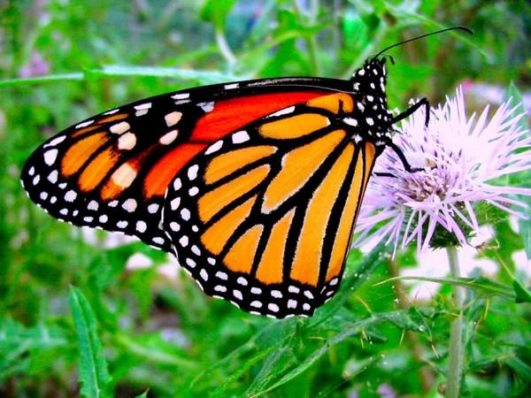Sabia que as borboletas monarcas se medicam com plantas? 1