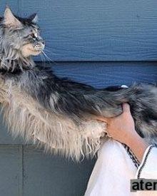 """""""Stewie"""", o gato mais comprido do mundo"""