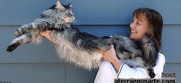 """""""Stewie"""", o gato mais comprido do mundo 11"""