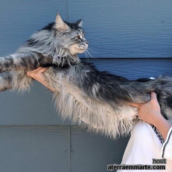 """""""Stewie"""", o gato mais comprido do mundo 2"""