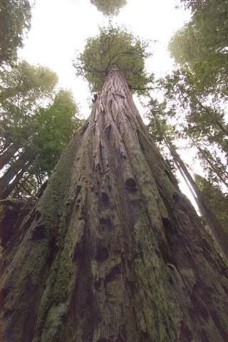 As lendárias árvores gigantes do nosso planeta 2