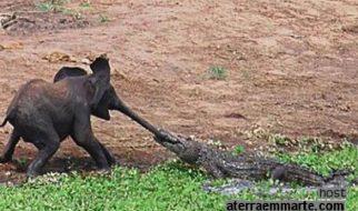 Crocodilo atacou um elefante 1
