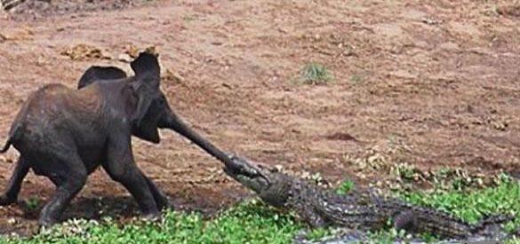 Crocodilo atacou um elefante