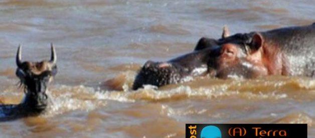 O hipopótamo bom samaritano
