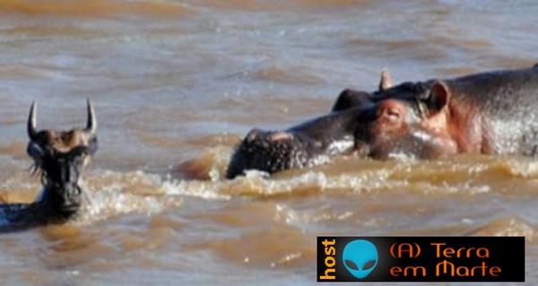 O hipopótamo bom samaritano 3