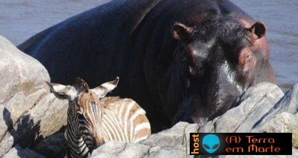 O hipopótamo bom samaritano 4
