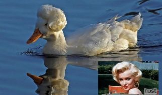 Uma pata parecida com Marilyn Monroe 7