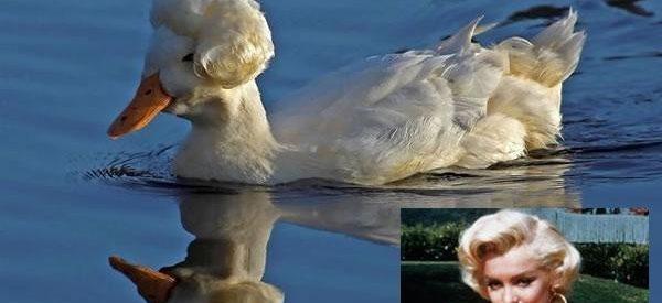 Uma pata parecida com Marilyn Monroe