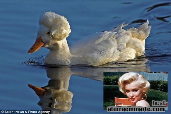 Uma pata parecida com Marilyn Monroe 1