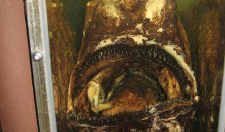 Himantolophus groenlandicus, provavelmente o peixe mais feio do mundo 2