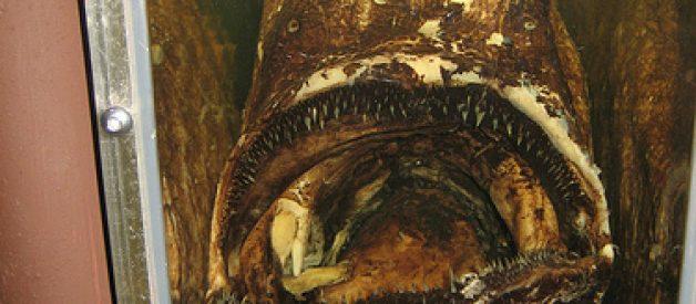 Himantolophus groenlandicus, provavelmente o peixe mais feio do mundo