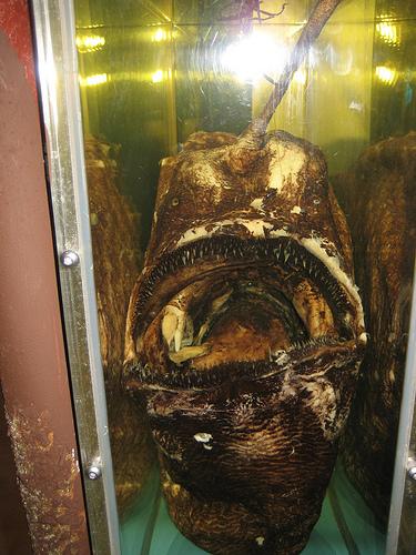 Himantolophus groenlandicus, provavelmente o peixe mais feio do mundo 1
