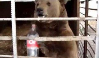 O urso que era obrigado a beber Coca Cola 2