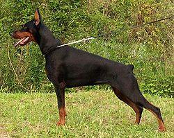 Os 10 cães mais inteligentes 6