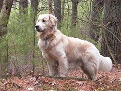 Os 10 cães mais inteligentes 5
