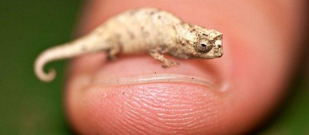 O camaleão mais pequeno do mundo