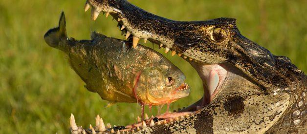 Piranha: desafiadora até ao fim 1