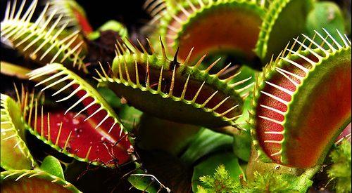 O que comem as plantas carnívoras?
