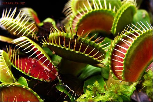 O que comem as plantas carnívoras? 1