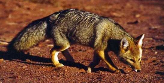 Animais extraordinários: a raposa