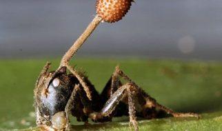 Formigas zombies 1