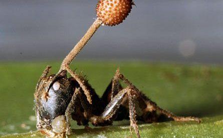 Formigas zombies