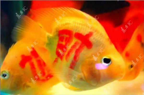 Peixes tatuados: a última moda 1