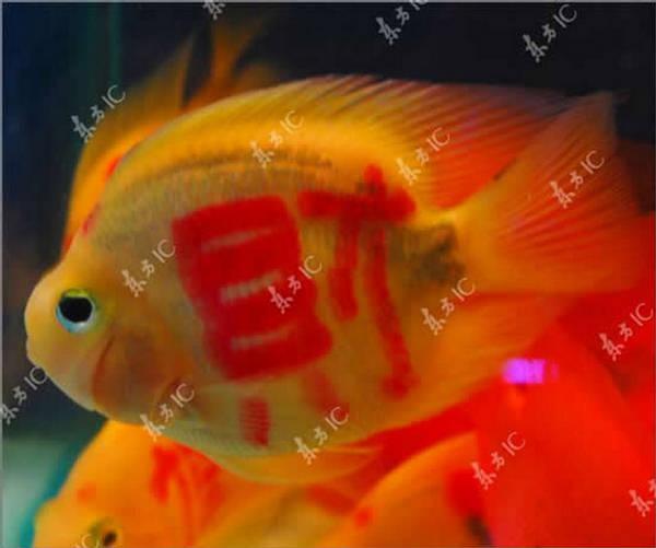 Peixes tatuados: a última moda 4