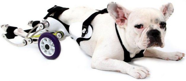 Amigo: a cadeira de rodas para cães