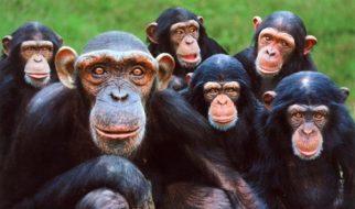 Curiosidades sobre os chimpanzés 3