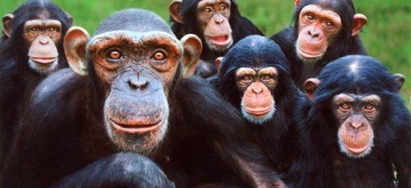 Curiosidades sobre os chimpanzés
