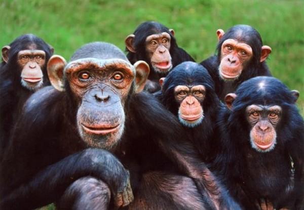 Curiosidades sobre os chimpanzés 1