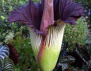 maior flor do mundo