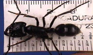 formiga gigante