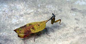 dead-leaf-mantis1 2
