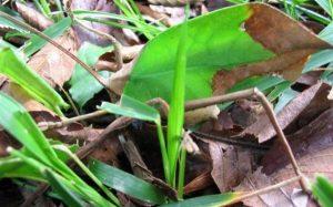 dying-leaf-mimic-katydid 2
