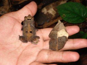 leaf-mimic-frog2 1